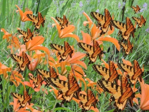tiger lillies with butterflies copy 1