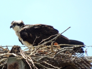 osprey Easter Sunday 2014