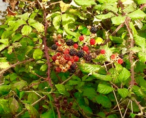black berry brambles (1)